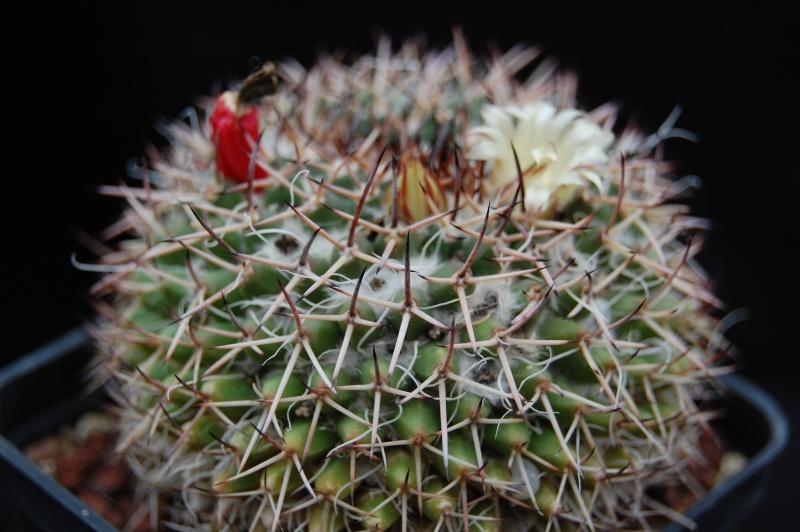 Mammillaria karwinskiana Karwin16