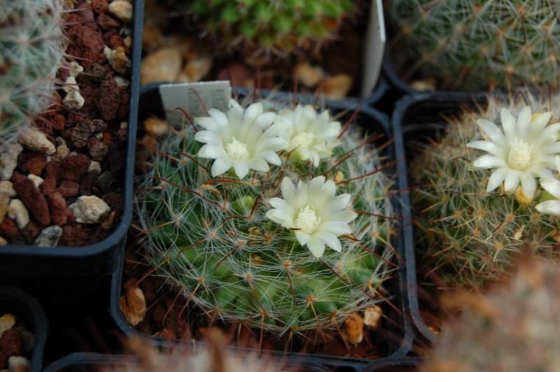 Mammillaria kunzeana Kunzea11
