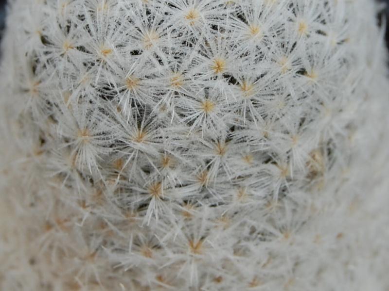 Mammillaria lasiacantha Lasiac11