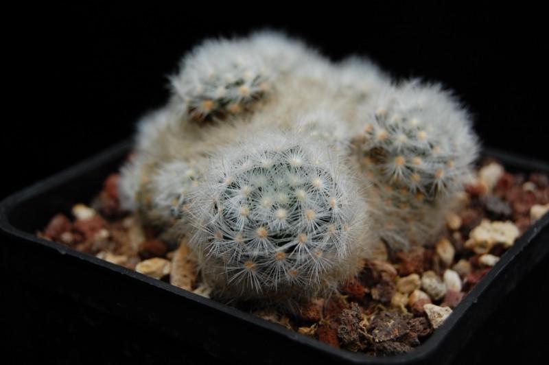 Mammillaria laui Laui_s11