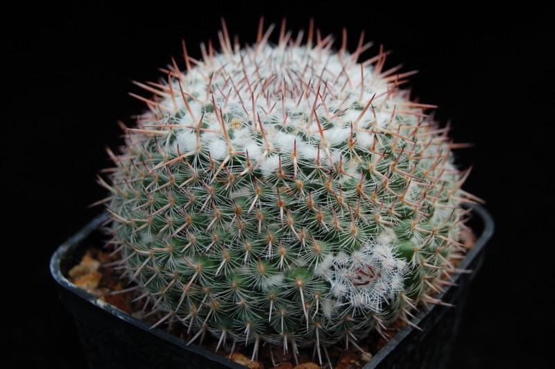 Mammillaria geminispina Leucoc10