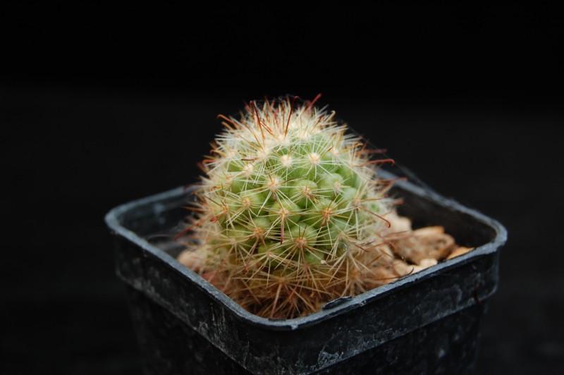 Mammillaria limonensis Limone10