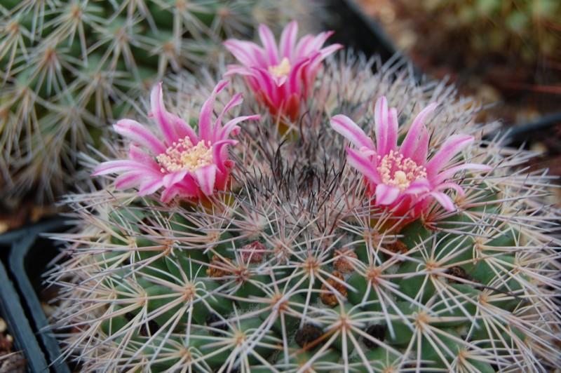 Mammillaria miegiana Miegia10
