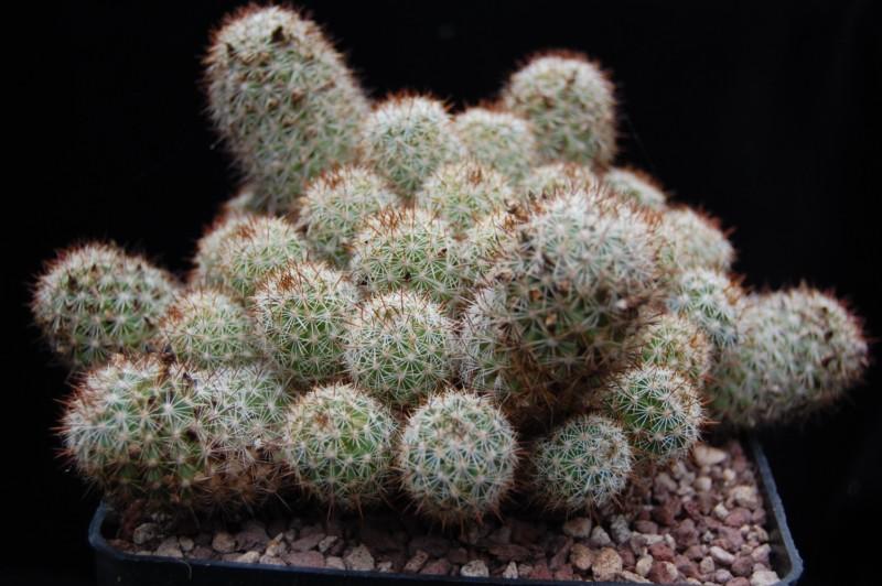 Mammillaria multidigitata Multid10