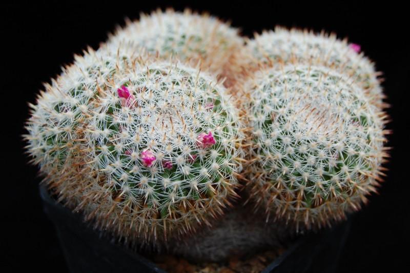 Mammillaria perbella Perbel10