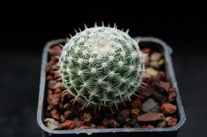 Mammillaria perbella Perbel12