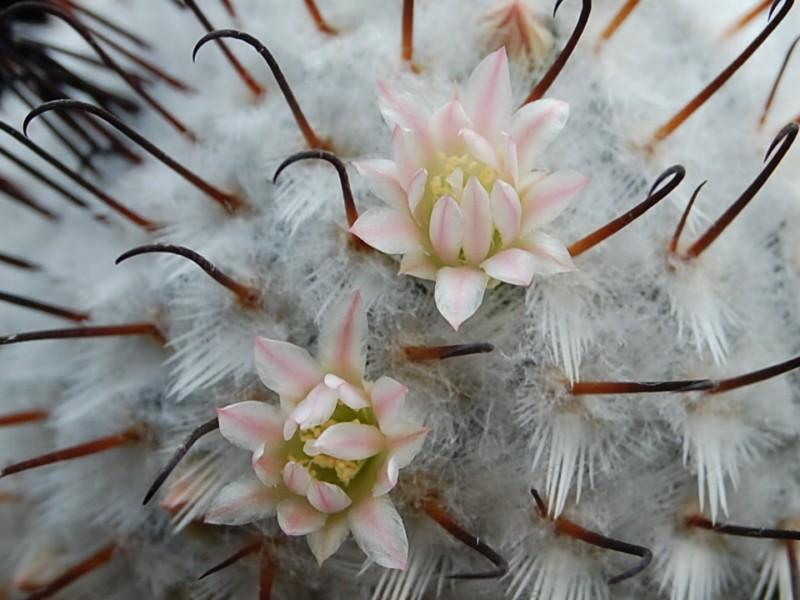 Mammillaria perezdelarosae Perezd13