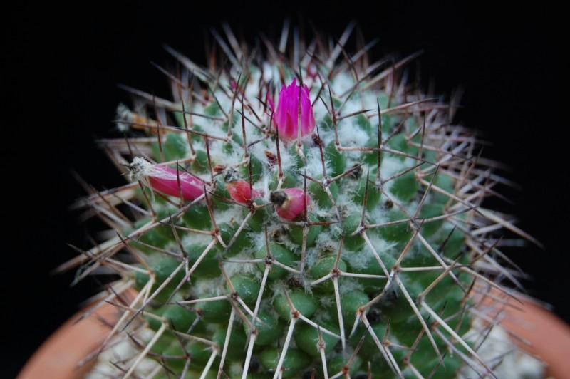Mammillaria polythele Polyth11