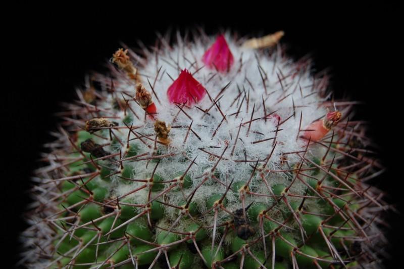 Mammillaria polythele Polyth18