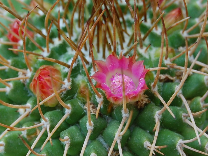 Mammillaria polythele Polyth23