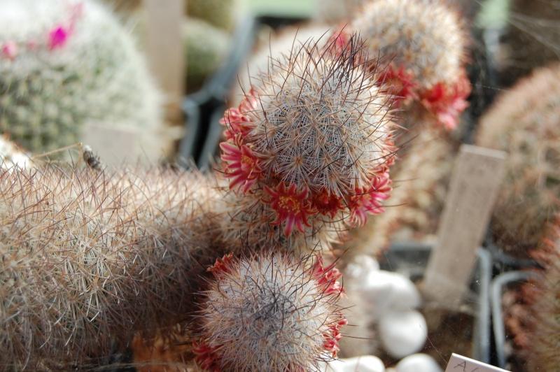 Mammillaria pottsii Pottsi13