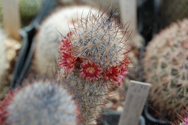 Mammillaria pottsii Pottsi14
