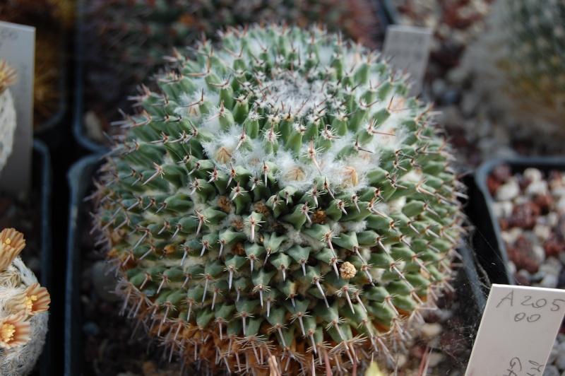 Mammillaria saetigera Saetig10