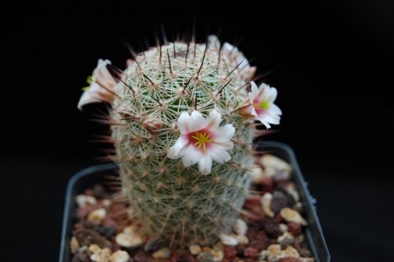 Mammillaria...........? Tipo_b10