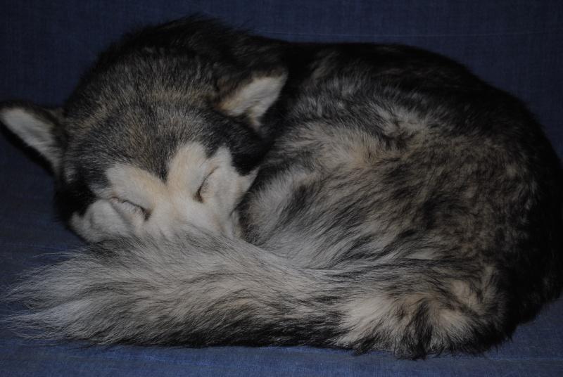 Quelques photos de mon petit loup Eoss  DECEDE - Page 2 _dsc0210