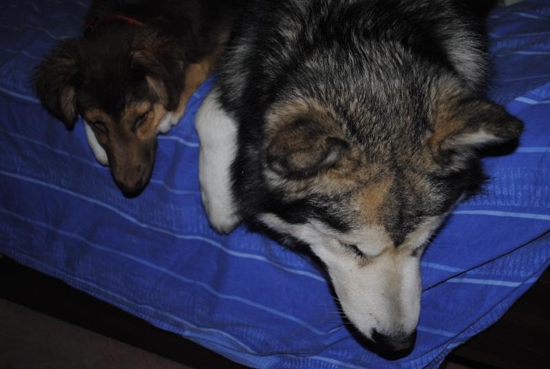 Quelques photos de mon petit loup Eoss  DECEDE - Page 2 _dsc0410