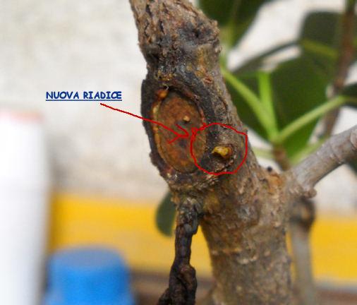 Radici Aeree Ficus Radice10