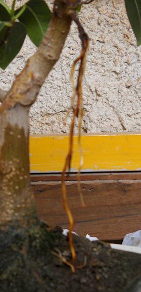 Radici Aeree Ficus Radice15