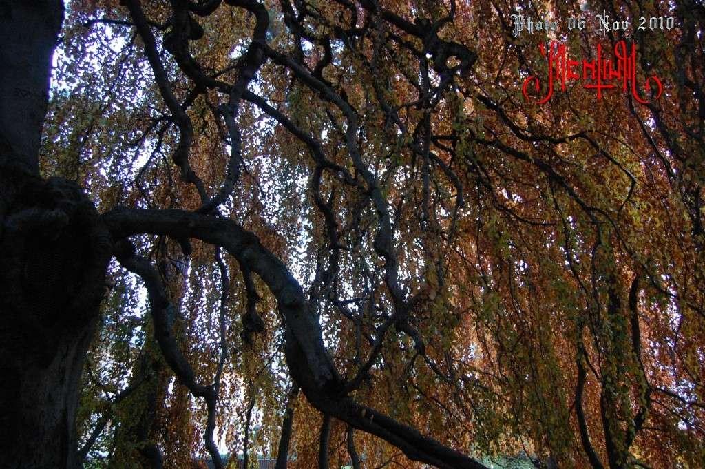 Hêtre Pleureur de l'Ermitage 10-11-11