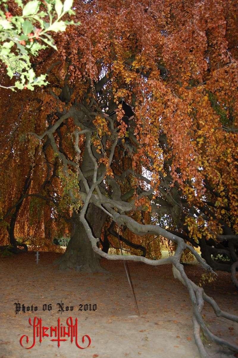 Hêtre Pleureur de l'Ermitage 10-11-13