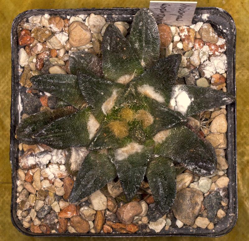 Ariocarpus scapharostrus Ario-s12