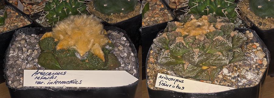 Ariocarpus aber welcher denn nur ? Ario-v10
