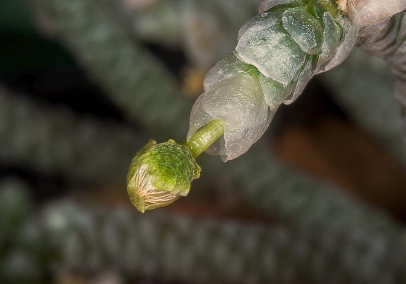 Avonia albissima Avonia12