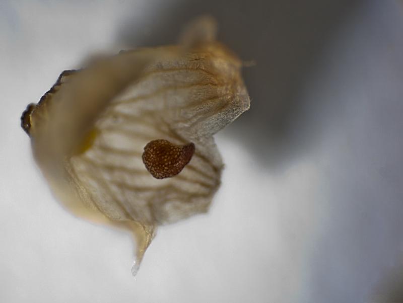 Avonia albissima Avonia15