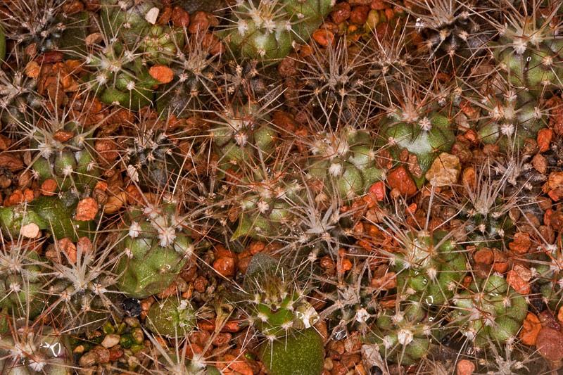 Kaktus Samen Mix aus´m Baummarkt ... - Seite 3 Baumar11