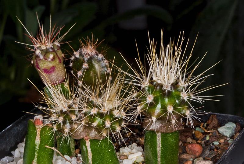 Kaktus Samen Mix aus´m Baummarkt ... - Seite 3 Baumar12