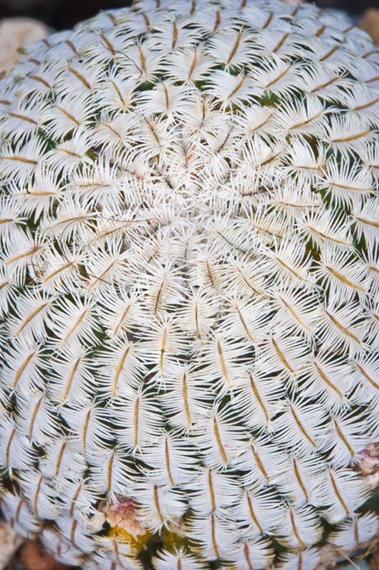 Mammillaria pectinifera Mammi-11