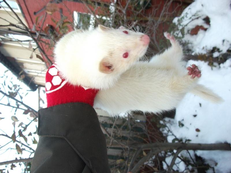 Ferret Hutch rescue 2   Ferret16