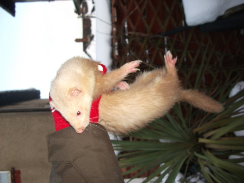 Ferret Hutch rescue 2   Ferret32