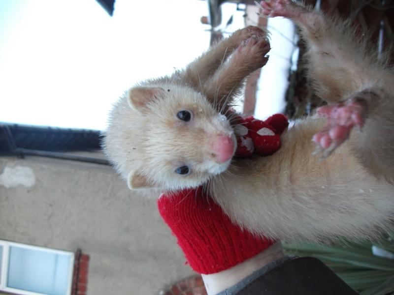 Ferret Hutch rescue 2   Ferret33