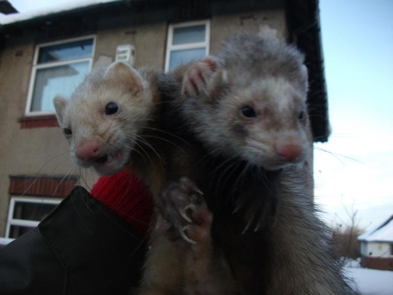 Ferret Hutch rescue 2   Ferret34