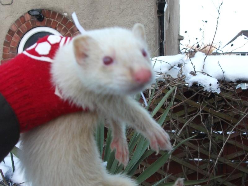 Ferret Hutch rescue 2   Ferret36
