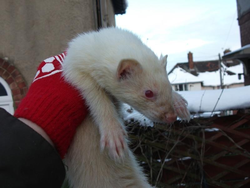 Ferret Hutch rescue 2   Ferret37