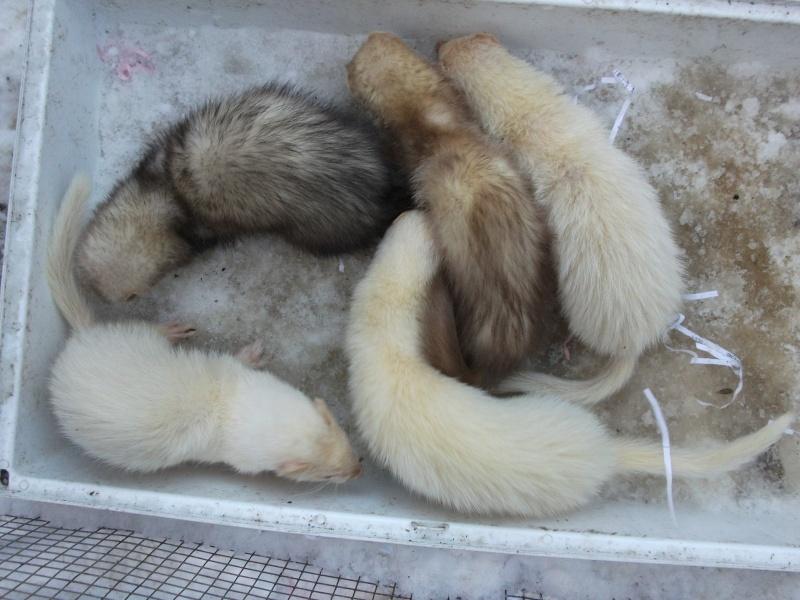 Ferret Hutch rescue 2   Ferret38