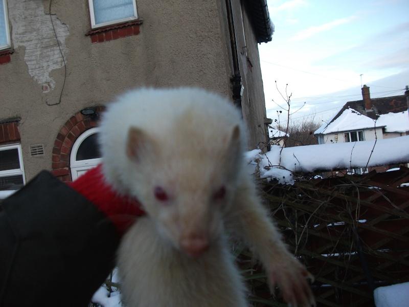 Ferret Hutch rescue 2   Ferret39
