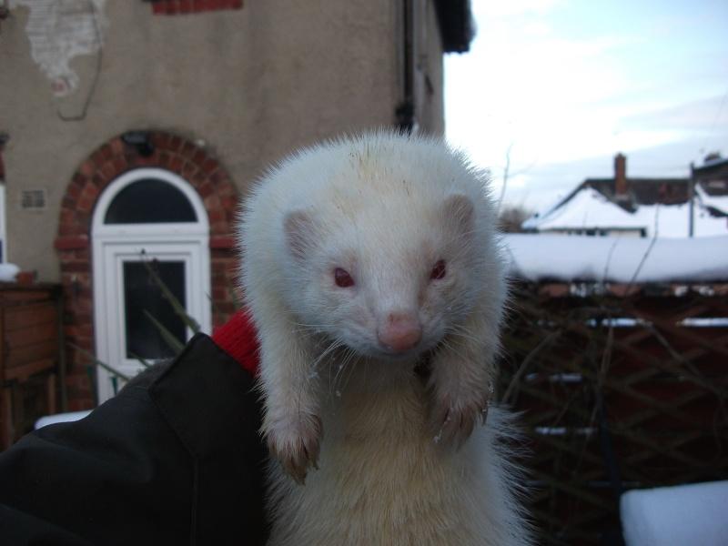 Ferret Hutch rescue 2   Ferret41