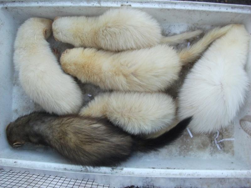 Ferret Hutch rescue 2   Ferret46