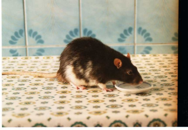 Débat du mois de décembre : La vieillesse chez les rats Aef_ga10