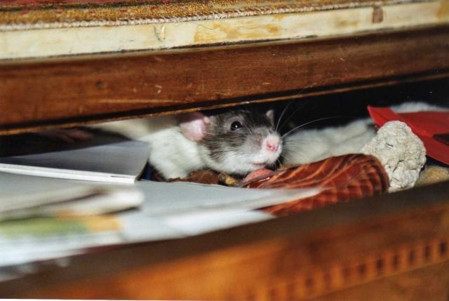 Débat du mois de mai : Les manies de vos rats Dvk_ou10