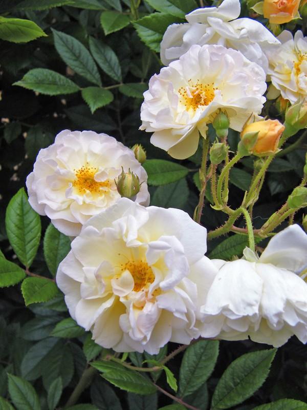 Concours du mois de juin 2010. Thème : Au nom de la rose 6_juin10