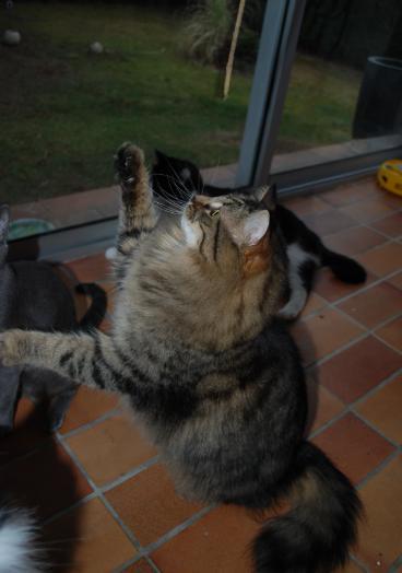 presentation des chats et de Osiris et cassiopee Osiris13