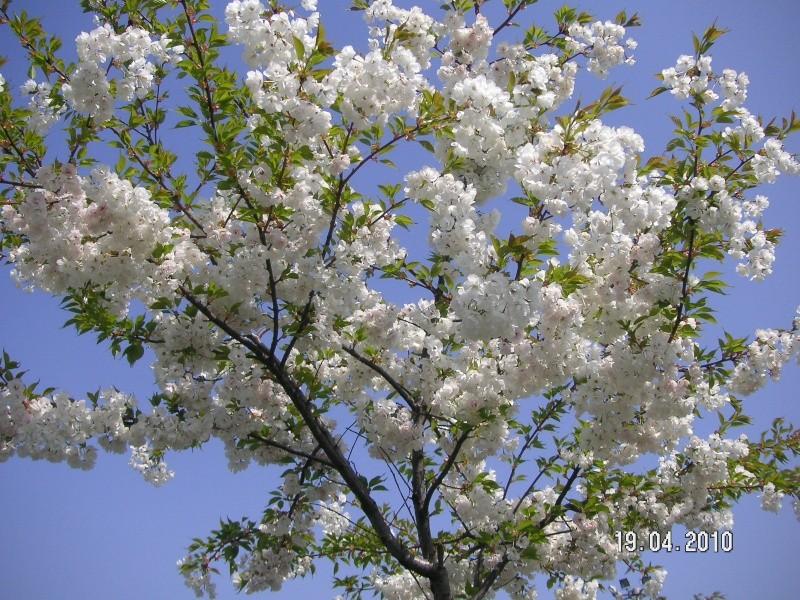 COMPIEGNE: les Sakuras de Compiègne Pict8410