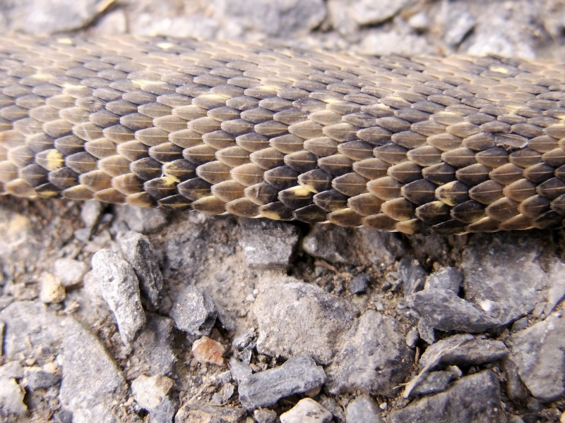 Natrix maura Pict0030