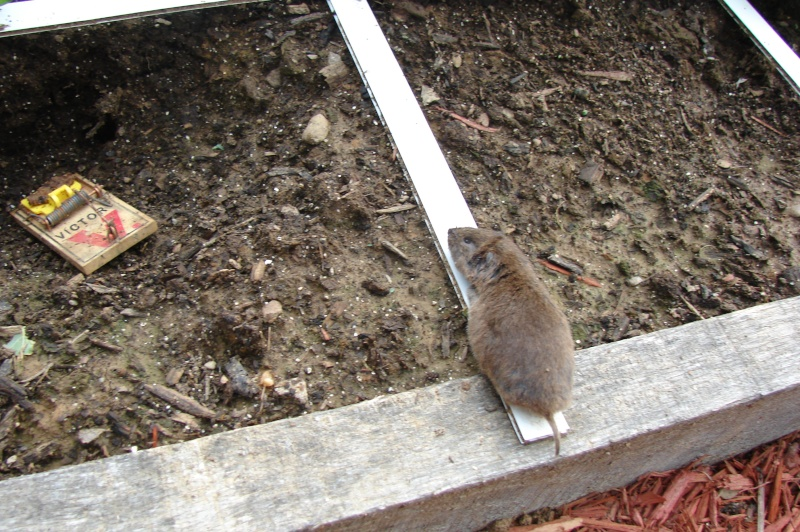 question about wire mesh for burrowers - Page 2 Vole1010