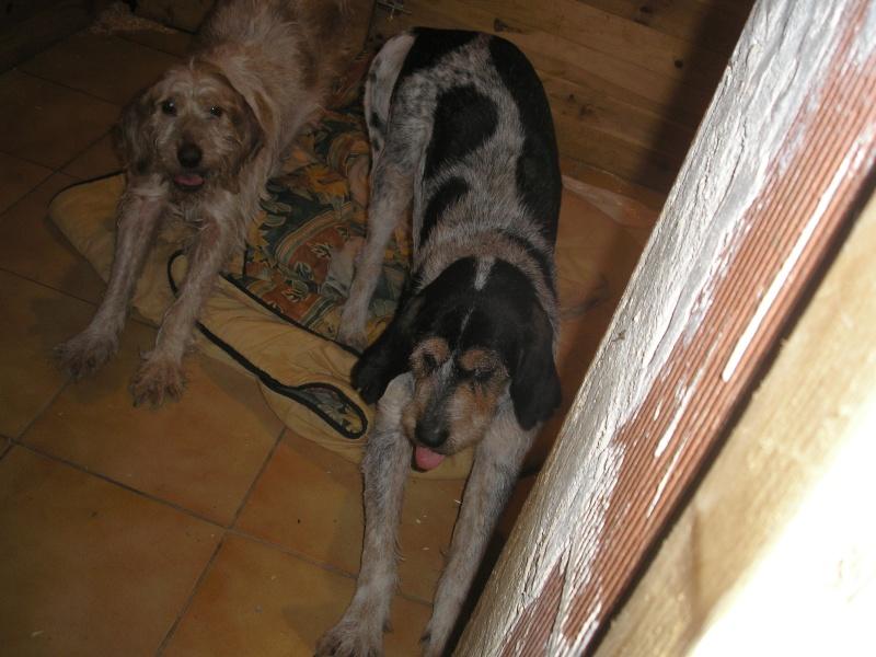 ROMEO et JULIETTE, croisés chasse mâle et femelle à adopter ensemble (64) Romeo_12