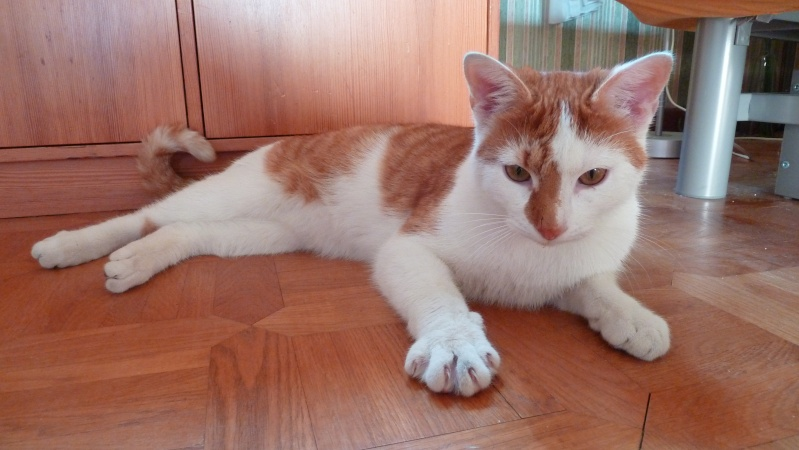 Jeune chat roux-blanc, trouvé sur le parking de Lidl à Cornebarrieu Flidl10